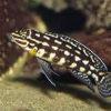 "Julidochromis marlieri 1.5"""