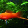 Red Swordtail - M