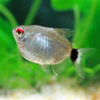 Balloon Red Eye Tetra