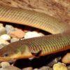 Reed Fish