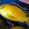 African Prince Cichlid SM
