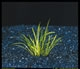 Echinodorus tenellus-submerged