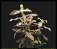 Hygrophila polysperma Rosanervis-emerged