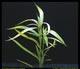 Hygrophila salicifolia-submerged