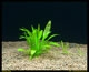Ranalisma rostrata-emerged