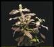 Hygrophila polysperma 'Rosanervis'-emerg