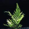 Bolbtis heudelotii-motherplant