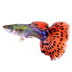 Wholesale suppliers of tropical, ornamental fish & aquatic plants to