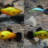 Assorted Neon Wagtail Platy ML