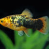 Sunset Calico Platy SMALL