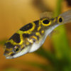 Figure Eight Puffer 3.5cm