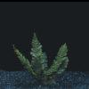Trichomanes javanicum Aqua fern