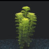 Limnophila sessiliflora-submerged