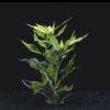 Hygrophila corymbosa var. siamensis-submerged