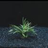 Ophiopogon japonica Kyoto
