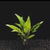Cryptocoryne Wendtii Green 4cm pot