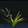 Echinodorus latifolius-emerged