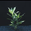 Dracaena Deremensis Striped - bunches or ring