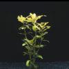 Hygrophila polysperma-emerged