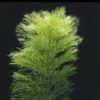 Limnophila aquatica-submerged