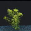 Myriophyllum elatinoides-submerged