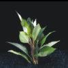 Hygrophila corymbosa 'Cherry leaf'-emerg