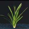Sagittaria platyphylla-submerged
