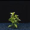 Alternanthera ficoidea bettzickiana 'Gre