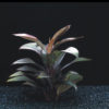 Cordyline Compacta - bunches or ring
