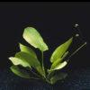 Echinodorus schlueteri-emerged