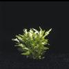 Alternanthera ficoidea bettzickiana 'Aur