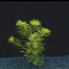 Myriophyllum matogrossense 'Green form'-