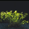 Microsorium pteropus 'Windelov'