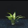 Cryptocoryne pontederiifolia-emerged