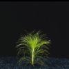 Eriocaulon setaceum-submerged