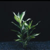 Dracaena deremensis 'Striped'
