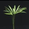 Calamus spec. ?Bamboo plant?