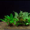 Cryptocoryne mix pot-from Sri Lanka