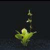 Echinodorus parviflorus 'Tropica'-emerge
