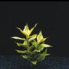 Dracaena variegatus