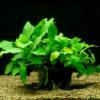 Anubias barteri var. nana-motherplant
