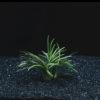 Ophiopogon japonica 'Kyoto'