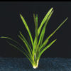 Sagittaria platyphylla-emerged