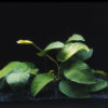 Anubias barteri var. barteri 'Broad leaf