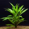 Hygrophila salicifolia 'Long form'
