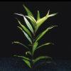 Hygrophila corymbosa var. siamensis 'Sma