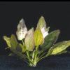 Echinodorus 'Oriental'-emerged