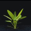 Echinodorus muricatus 'Green'-emerged