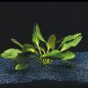 Echinodorus 'Apart'-emerged