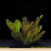 Echinodorus 'Ozelot'-emerged
